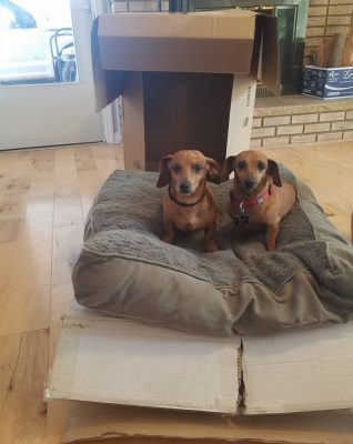 Two small dogs sitting on a dog bed that is sitting on top of a cardboard box. Behind the dogs is another box that has been setup as a dog playhouse for them.